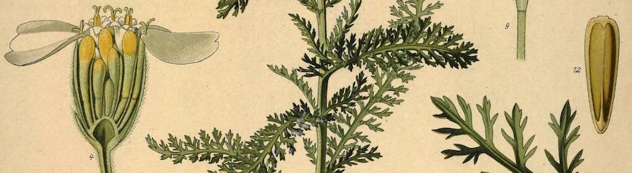 Achillea Medicinal Plants