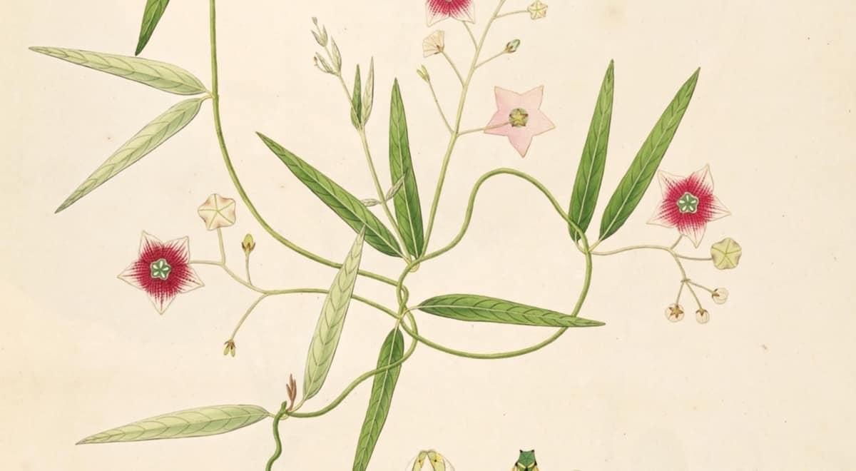 Plants of Coromandel Coast India - Illustration